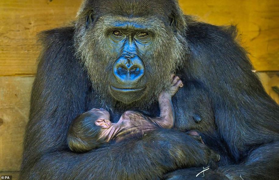 Новорожденная горилла