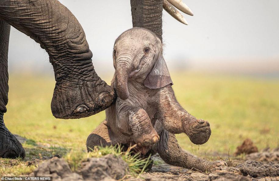 Новорожденный слон