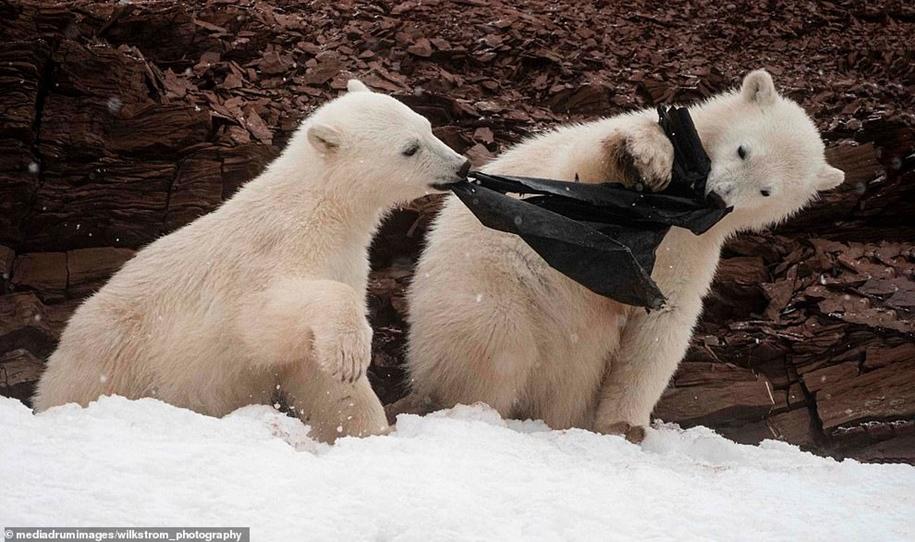 Цивилизация добралась до белых медведей