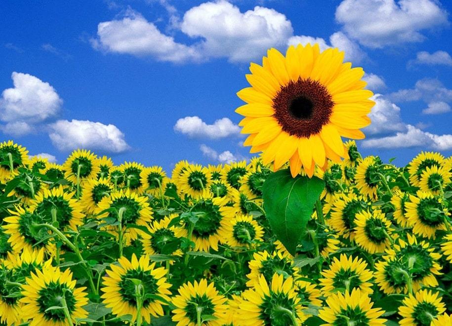 Подсолнух — цветок солнца
