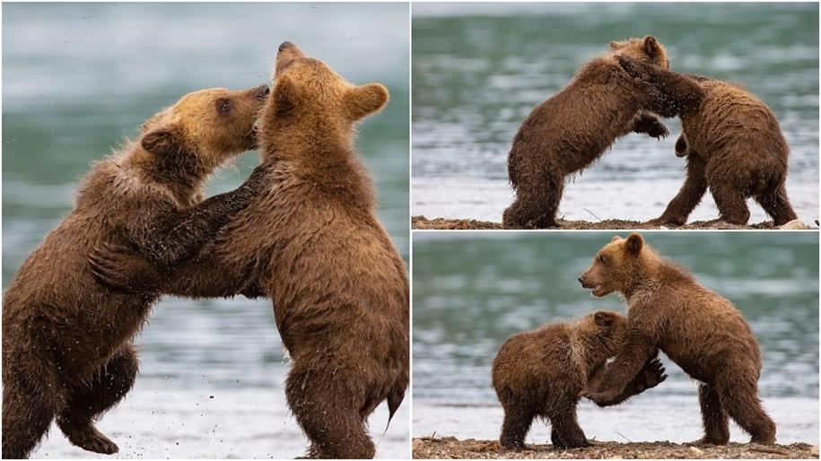 Схватка медвежат на Камчатке